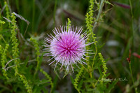 ***07272015BuddingThistle048ATwp