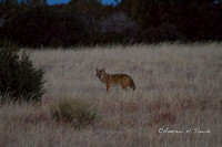 01012014CoyoteField083AT