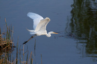 03212013GreatWhiteEgret889AT