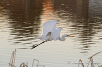 03112013GVPGreatWhiteEgret021AT