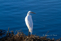 0211015GreatWhiteEgret11AT