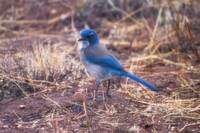 03042014ScrubJay745AT